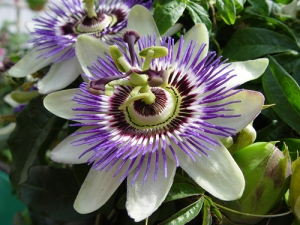 passion-flower-bsp
